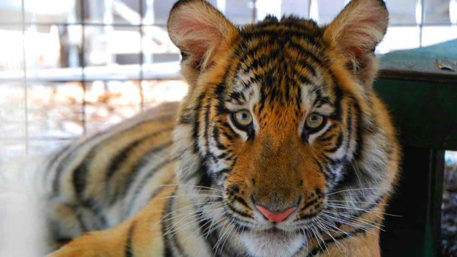 tiger at mystic jungle live oak florida