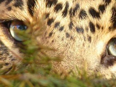 leopard at mystic jungle wildlife sanctuary in Live Oak